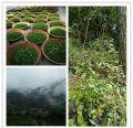 鸟语花香 为家里转几斤纯天然野生茶
